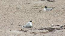 Least Tern (Sternula Antillarum) Parent Leaves Nest And Chick Is Unprotected
