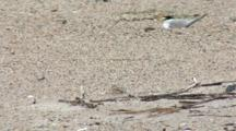 Least Tern (Sternula Antillarum) Parent Sits On Two Squirming Chicks