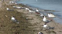 Least Tern (Sternula Antillarum) And Piping Plovers On Beach Near Water