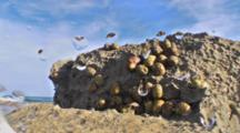 Close Up Of Limestone Rock Structure In A Tropical Tide Pool With Marine Snail Colony, Water Surges In To Shot