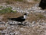 Sooty Tern, Onychoprion Fuscatus Stands On Ground And Looks Around