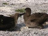 Black-Footed Albatross, Phoebastria Nigripes Adult And Chick