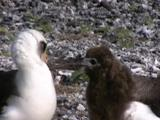 Laysan Albatross (Phoebastria Immutabilis) Chick Solicits Adult For Food By Tapping Adults Bill