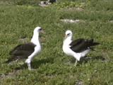 Laysan Albatross (Phoebastria Immutabilis) Adults Engaged Preening And In Courtship Behavior, Hand Held Shot