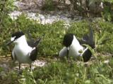 Sooty Tern (Onychoprion Fuscatus) Pair Bonding At Nesting Site