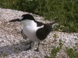 Sooty Tern (Onychoprion Fuscatus) Stands And Looks Around, Occasionally Preening