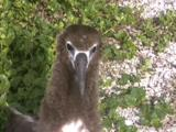Albatross Chick, Close Up Of Face Looking Curious
