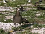 Black-Footed Albatross (Phoebastria Nigripes) Adult Stands And Looks About