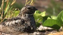 Common Nighthawk (Chordeiles Minor) Nesting In Vines On Beach In The Bahamas