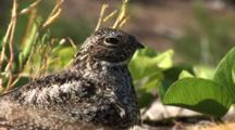 Common Nighthawk (Chordeiles Minor) Nesting In Vines On Beach In The Bahamas, Shot Zooms In, Birds Eyes Dialate