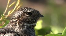 Common Nighthawk (Chordeiles Minor) Nesting In Vines On Beach In The Bahamas, Bird Runs Off Nest