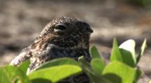 Common Nighthawk (Chordeiles Minor) Nesting In Vines On Beach In The Bahamas, Bird Moves Like She Is Going To Leave