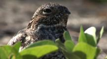 Common Nighthawk (Chordeiles Minor) Nesting In Vines On Beach In The Bahamas, Shot Zooms Out Wide