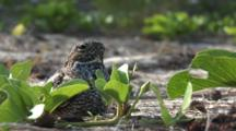 Common Nighthawk (Chordeiles Minor) Nesting In Vines On Beach In The Bahamas, Bird Puffs Up And Leaves Revealing The Eggs