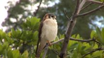 American Kestrel (Falco Sparverius) Sits In A Tree On A Windy Day
