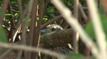 Black-Crowned Night Heron (Nycticorax Nycticorax) Juvenile, Well Camouflaged In A Mangrove Forrest