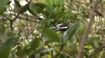 Black-Crowned Night Heron (Nycticorax Nycticorax) Adult, Well Camouflaged In A Mangrove Forrest