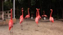 Flamingos (Phoenicpoterus) Do A Head Flagging Behavior And A Wing Salute Behavior, Hand Held Shot