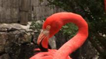 Flamingos (Phoenicpoterus) Close Up Shot Of Grooming, Hand Held Shot