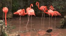 Flamingos (Phoenicpoterus) Interact In A Pond, Hand Held Shot