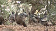 Wild Turkey (Meleagris Gallopavo) Are Becoming Established In California Again, Stretching Wings