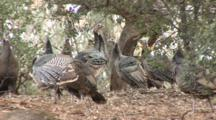 Wild Turkey (Meleagris Gallopavo) Are Becomming Established In California Again, One Stretch Wings