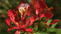 Colorful Flowers On A Royal Poinciana Tree In The Bahamas, Close Up