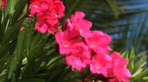 Oliander In Bloom With Red Flowers In The Bahamas, Close Up