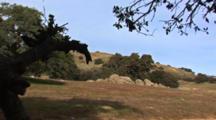Shot Pans Accross Oak Woodland Landscape, Speces:  Blue Oak (Quecus Douglasii)