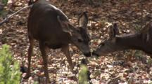Mule Deer (Odocoileus Hemionus) Doe's Come Nose To Nose