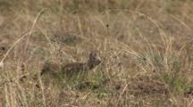 California Ground Squirrel (Otospermophilus Beecheyi) Hides In Dry Grass