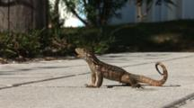 Saw Scaled Curly-Tail Lizard (Leiocephalus Carinatus Coryi) On A Sidewalk & Flexing Body