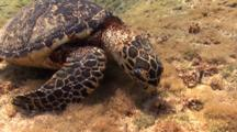 Hawksbill Sea Turtle Foraging For Food And Feeding, Grand Cayman, Caribbean.