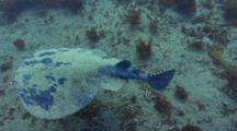 Pacific Electric Ray, Torpedo Californica, Catalina Island, California