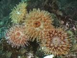 Tealia Anemones, Maine, Atlantic Ocean