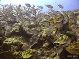 Blackbar Soldierfish And Reef, Dominica