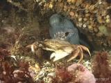 Atlantic Wolffish Eating Crab