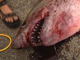Dead Porbeagle Shark