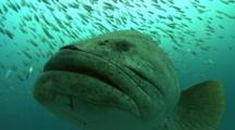 Goliath Grouper, Epinephelus Itajara, Previously Called The Jewfish, Pre-Spawning Aggregation Off West Palm Beach, Florida, Atlantic Ocean.