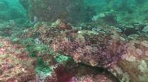 An Ornate Wobbegong Shark, Orectolobus Ornatus, A Flat Shark That Ambushes Predators Using Camouflage. Gold Coast, Queensland, Australia, Pacific Ocean.