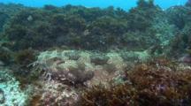 A Spotted Wobbegong Shark, Orectolobus Maculatus, A Flat Shark That Ambushes Predators Using Camouflage. Gold Coast, Queensland, Australia, Pacific Ocean.