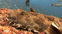 A Spotted Wobbegong Shark, Orectolobus Maculatus, A Flat Shark That Ambushes Predators Using Camouflage, Surrounded By Huge School Of Silversides. Gold Coast, Queensland, Australia, Pacific Ocean.