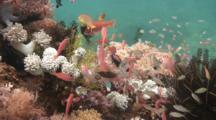 Anthias In Coral, Batangas, Philippines, Pacific Ocean.