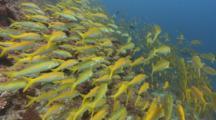 School Of Bigeye Snapper, Lutjanus Lutjanus, Great Barrier Reef, Queensland, Australia.