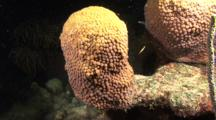 Star Coral Releasing Sperm While Spawning, Bonaire, Netherlands Antilles, Caribbean Sea.