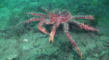 The Southern King Crab, Lithodes Santolla, In The Waters Off Ushuaia, Argentina In The Beagle Channel, South Atlantic Ocean.