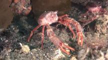 Subantarctic Squat Lobster, Munida Subrugosa, Beagle Channel, Ushuaia, Argentina.