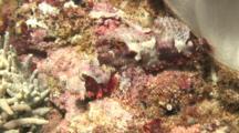 Reef Scorpionfish, Medium Shot. Batangas, Philippines, Pacific Ocean.