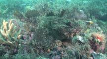 The Sea Raven, Hemitripterus Americanus, Is A Type Of Sculpin That Has Fleshy Tabs And Camouflage To Resemble Seaweed. Maine, Usa, North Atlantic Ocean.