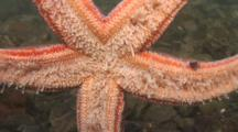 The Tube Feet On The Underside Of A Northern Sea Star, Asterias Vulgaris, Showing How The Sea Star Walks. Time Lapse. Eastport, Maine, Usa, Atlantic Ocean.